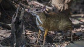 Lesser Mouse Deer Smelling Stump Fotografia Stock