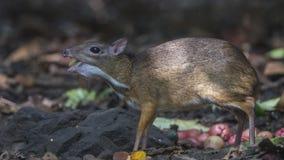 Lesser Mouse Deer Smelling Stump Immagini Stock Libere da Diritti