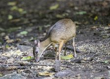 Lesser Mouse Deer. Spotted in the wild in Thailand Royalty Free Stock Photos