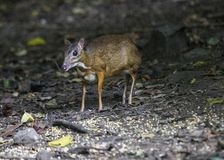 Lesser Mouse Deer stock photo