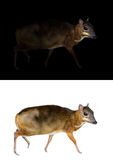 Lesser mouse deer standing in the dark and white background. Lesser mouse deer standing in the dark and lesser mouse deer isolated Royalty Free Stock Images