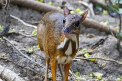 Lesser mouse-deer Tragulus kanchil Cute animal. Lesser mouse deer Tragulus kanchil Cute animal Royalty Free Stock Photography