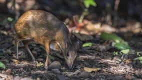 Lesser Mouse Deer In Rainforest. Lesser Mouse Deer, Tragulus kanchil, is eating fruit in rainforest at Baan Maka, Kaeng Krachan, Thailand royalty free stock image