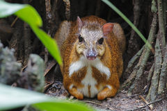 Lesser mouse-deer Tragulus kanchil sit on the ground Stock Photos