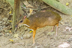 Lesser mouse deer. In the woods of Thailand there is this small Lesser mouse deer Royalty Free Stock Photography