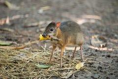 Lesser mysz rogacz fotografia stock