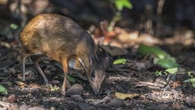Lesser mysz rogacz W tropikalnym lesie deszczowym obraz royalty free