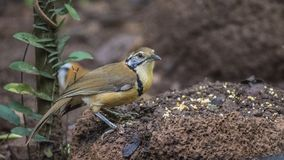 Lesser Necklaced Laughingthrush With Corn Stock Photo