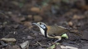 Lesser Necklaced Laughingthrush On Ground Fotografia Stock