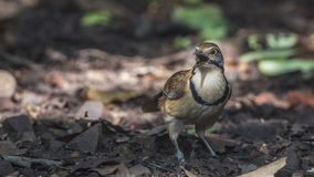 Lesser Necklaced Laughingthrush Singing Royalty Free Stock Photo
