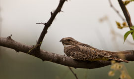 Lesser Nighthawk. A Lesser Nighthawk (Chordeiles acutipennis) rests on a branch during the day time Stock Photo