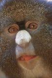Lesser ostrożnie wprowadzać małpy zdjęcie royalty free