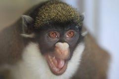 Lesser ostrożnie wprowadzać małpy zdjęcie stock