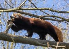 Lesser panda 10 Arkivbild