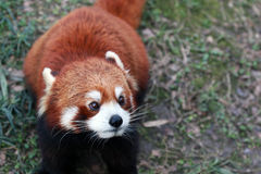 Lesser panda Royalty Free Stock Images