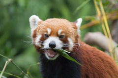 Lesser Panda Royalty Free Stock Photography