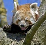 Lesser panda 1 Arkivbilder