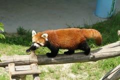 Lesser panda Royaltyfri Foto