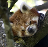Lesser panda 4 Arkivfoto