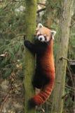Lesser panda obrazy stock