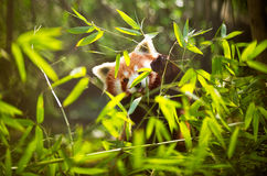 Lesser panda Royaltyfri Fotografi