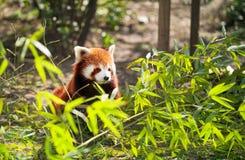 Lesser panda Arkivfoton