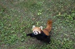 Lesser panda. Cute red panda Begging for food Royalty Free Stock Image
