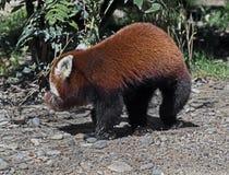 lesser panda Arkivfoto