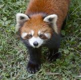 lesser panda Royaltyfria Foton