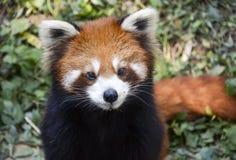 lesser panda Fotografering för Bildbyråer