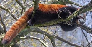 Lesser panda 8 Arkivbilder