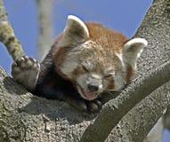 Lesser panda 3 Royalty Free Stock Images