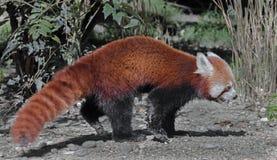 Lesser panda 5 Stock Photos