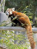 Lesser panda 7. Lesser panda also called red panda. Latin name - Ailurus fulgens Stock Photography