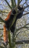 Lesser panda 9 Stock Photo