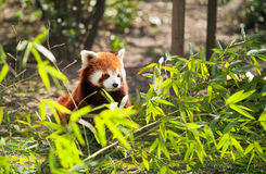 Lesser panda Stock Photos