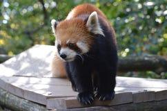 Lesser Panda Bear med långa jordluckrare Royaltyfri Bild