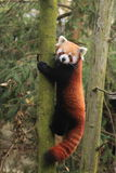 Lesser panda. The lesser panda climbing on the tree Stock Images