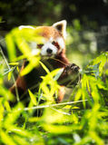 Lesser panda eating Royalty Free Stock Photo