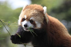 The lesser panda having a meal Stock Photography