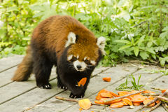 Lesser Panda Holding and Eating Food Stock Image