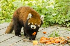 Lesser Panda Holding och ätamat Fotografering för Bildbyråer