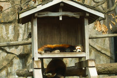 Lesser panda i zoo Royaltyfri Fotografi
