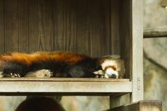 Lesser panda i zoo Arkivbild