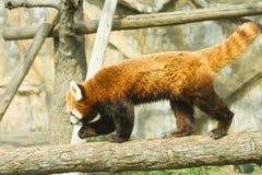 Lesser panda i zoo Royaltyfri Foto