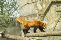 Lesser panda i zoo Arkivfoto