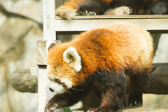 Lesser panda i zoo Arkivbilder