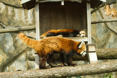 Lesser panda i zoo Royaltyfri Bild