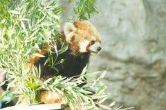 Lesser panda i zoo Royaltyfria Bilder