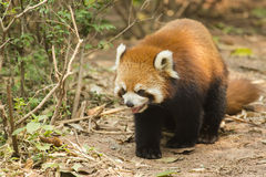 Lesser Panda Panting while Walking Royalty Free Stock Image